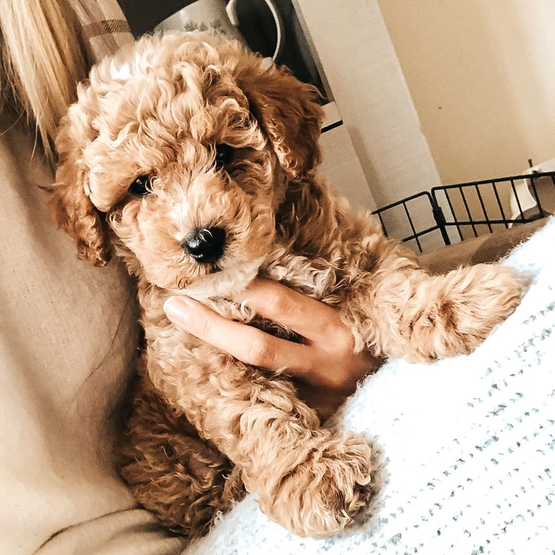 red poochon puppies for sale